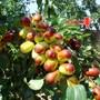 敦煌农场近一万亩优质红枣喜获丰收