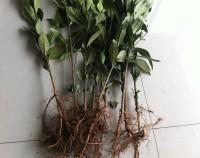 广大黄栀子苗种植户注意:近期有用水栀子苗冒充山栀子药栀子苗的苗圃出现,大家注意鉴别