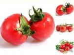 瑞正园-有机番茄