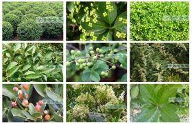 如何区分大叶黄杨、小叶女贞与冬青这三种经常被混淆的植物