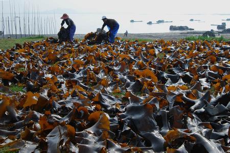 海带的营养价值-南日岛在线