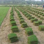 郴州马尼拉草皮