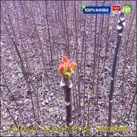 香椿苗|红油香椿苗|大棚香椿苗价格
