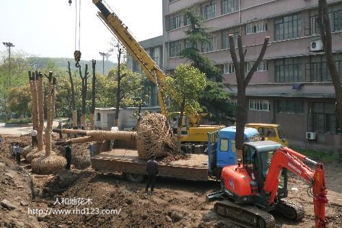 移植香樟树2.jpg