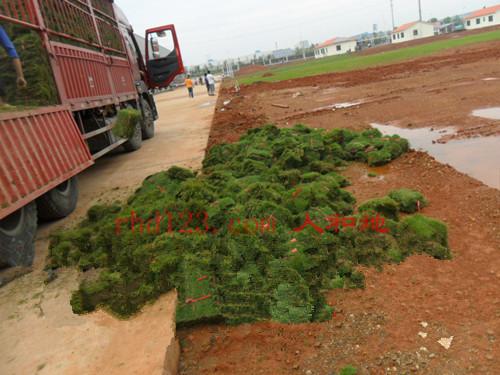 马尼拉草皮卸货2.jpg