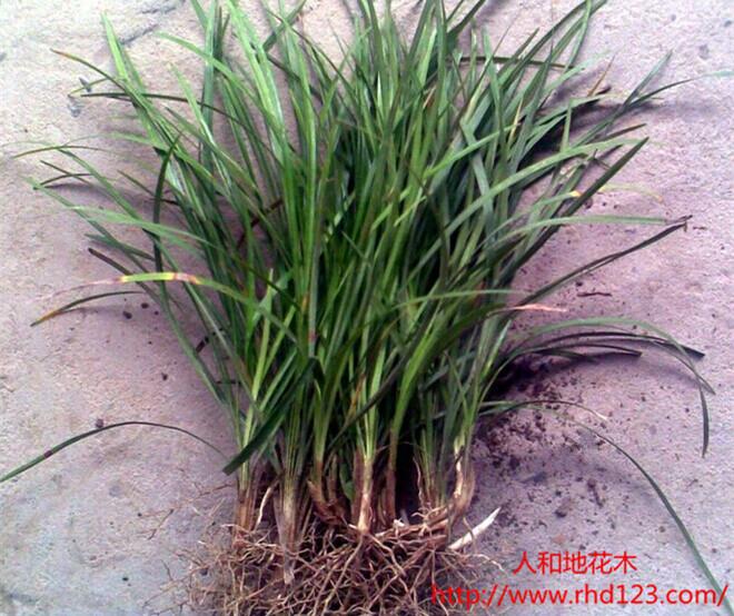 麦冬草2.jpg