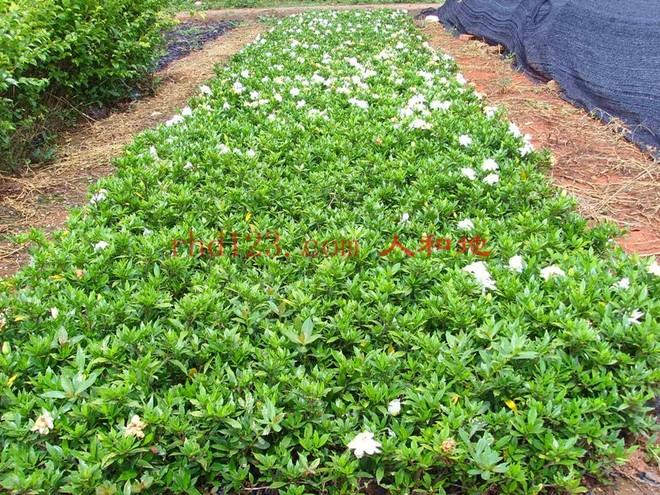 栀子花的养殖方法.jpg