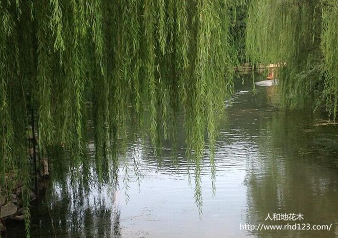 河边垂柳1.jpg