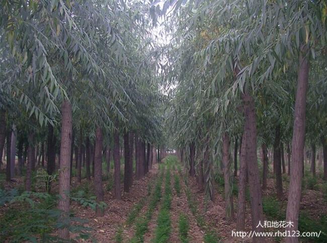 垂柳树1.jpg