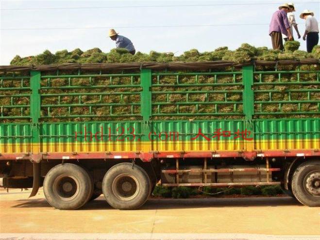 马尼拉草皮装车1.jpg