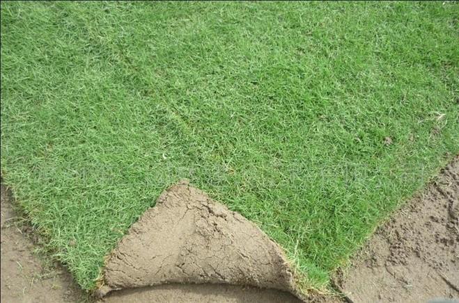 马尼拉草皮3.jpg