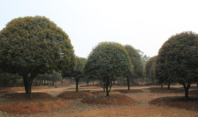 桂花树.jpg