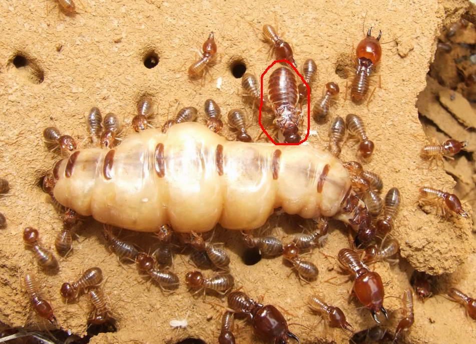 什么动物吃白蚁